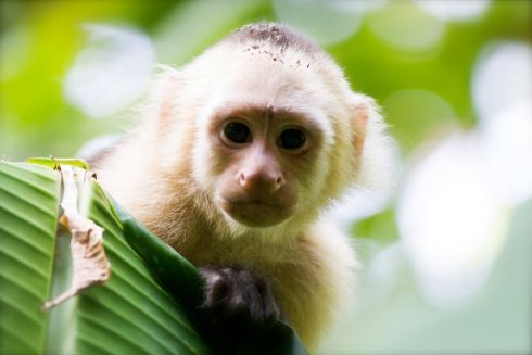 A Curious White-faced monkey by John Williamson - Photographer - Costa Rica
