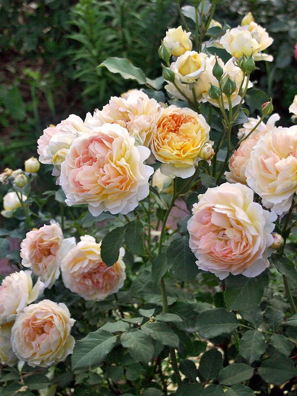 'Molineux' | Shrub. English Rose Collection. David C. H. Austin, 1994 | @ Oliver