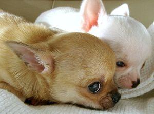 Chihuahua Characteristics - Applehead, Teacup and Deer