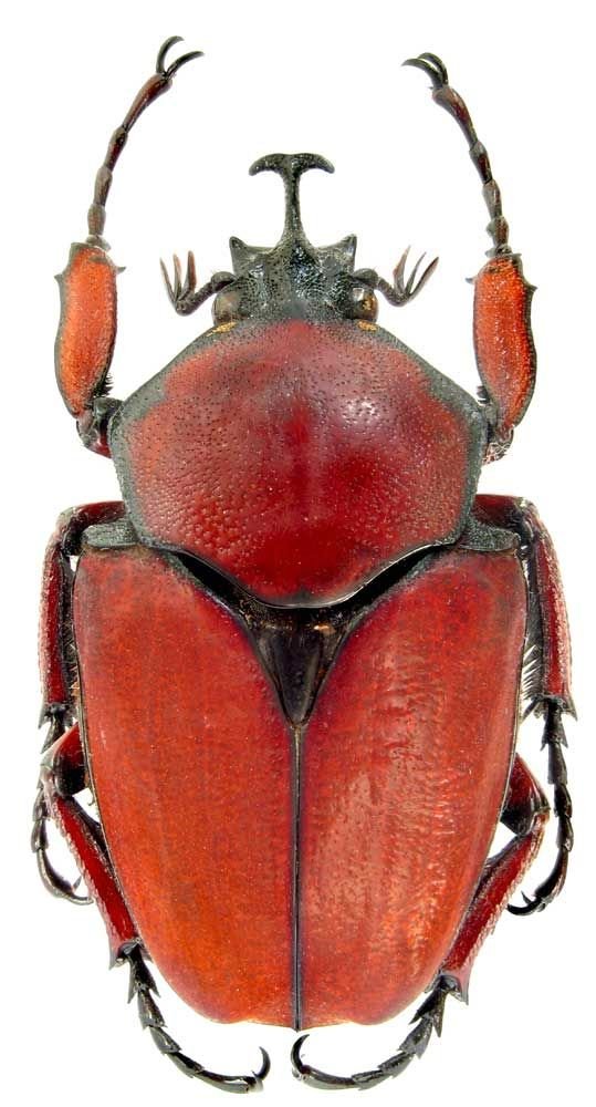 Fornasinius_russus  Fornasinius russus is native to an area from Lake Victoria west to the western coast of Africa. The reddish brown color and the unusual horn help identify this rarther rare beetle. Large examples can be almost 7.0 cm long. However, most examples appear to be about 5.5 cm in total length.  The red color will help identify this beetle