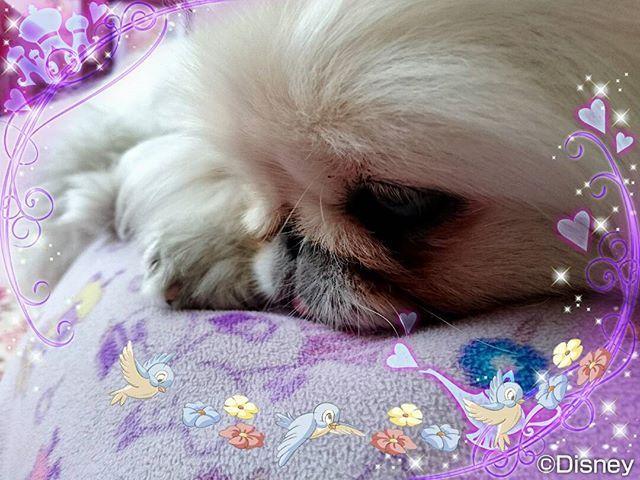 数日前から元気のない♡白雪♡ * 食欲もあるし、お腹も壊してないし、嘔吐もなし。 * * 病院で血液検査とレントゲン撮ってもらったけど異常なし。 * どうしてなんだろう…。早くいつもの元気な白雪になります様に。🎵 * #愛犬#愛犬家#ペキニーズ#白ペキ#ペキスタグラム#心配