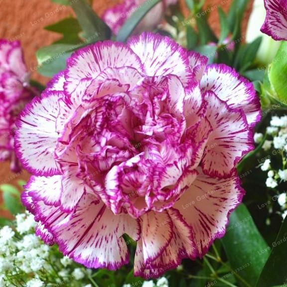 Rare Carnations Seeds Flowers Seeds Dianthus Caryophyllus Flowers Seeds For Home Garden Planting Mom Gift 1 Flower Seeds Carnation Plants Dianthus Caryophyllus