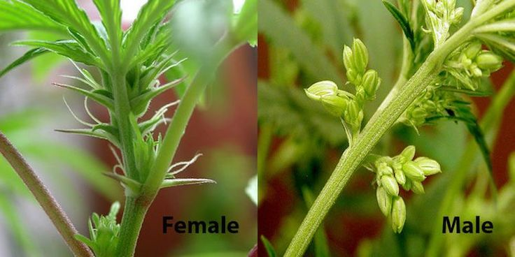 How To Tell If A Cannabis Plant Is Male Or Female