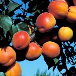 Growing Robada Apricot - Apricot Trees - Plant Manuals - Stark Bros