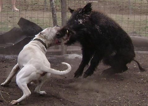 Dogo Argentino Vs Boar Morocho The One That Saved Two
