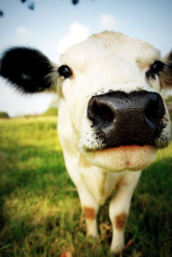 Cows are such lovely creatures. I'll never forget feeding them and petting them on my uncle's farm. They're so gentle and loving.
