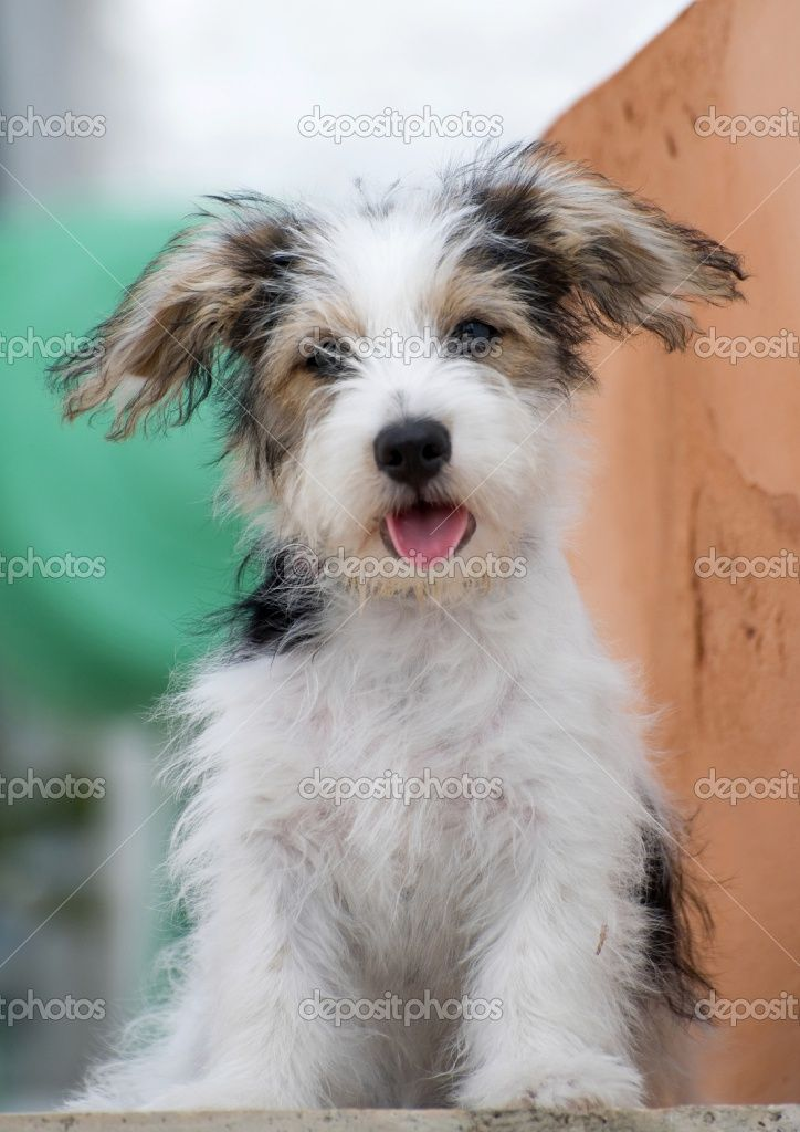 long haired jack russell terrier puppy
