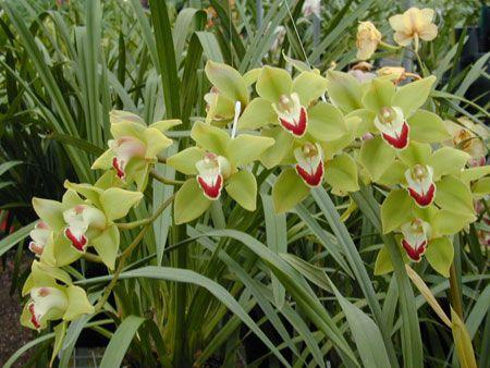 Royale Orchids - Australia