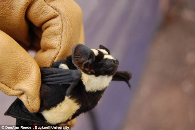 The 'find of a lifetime': Bizarre striped 'Panda bat' found in South Sudan | Daily Mail Online