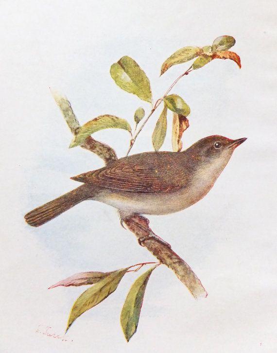 Garden Warbler Illustration by Turek,  Antique Bird Print, Vintage Bird Picture
