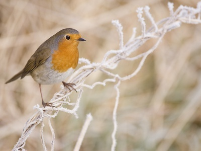 European robin perched on frost covered grass Photographic Print