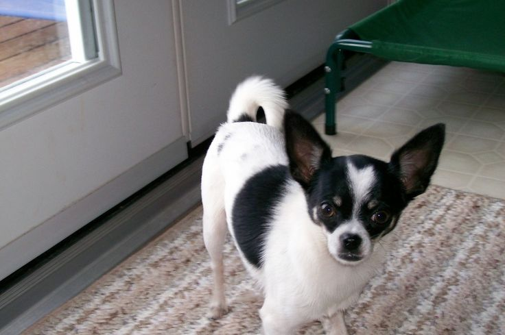 best 25 white chihuahua ideas on pinterest chihuahua