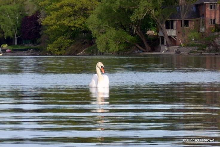 Graceful swan approaches