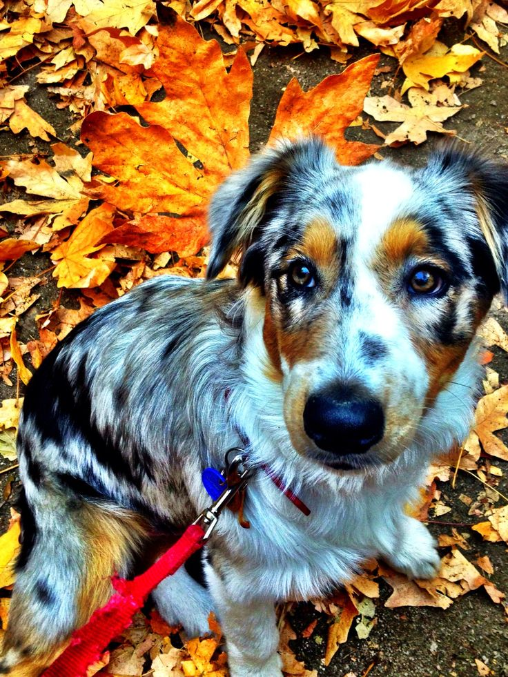 Playing in the leaves! Fall weather, Australian shepherd