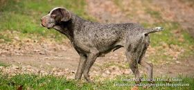 Imagen de un Perdiguero de Burgos cazando en el campo. Postura de perro cazador. Razas de perros (Image of Burgos Pointer hunting in the field. Posture hound. Dog breeds).