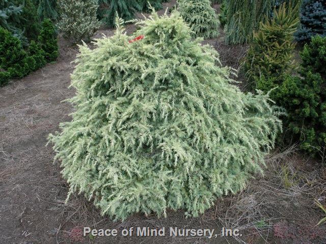 Cedrus deodara 'Cream Puff' | Wholesale Nursery Supplies & Plant growers in Oregon | Nursery Guide