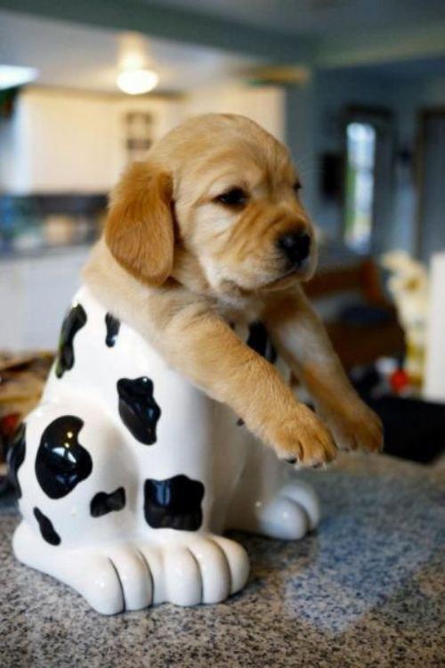 Adorable!Cookies Monsters, Dogs, Animal Baby, Little Puppies, Pets, Baby Animal, Cookie Jars, Golden Retriever, Cookies Jars