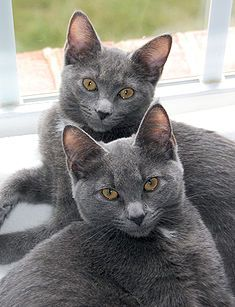 Korat (Cant decide which breed my cat is)
