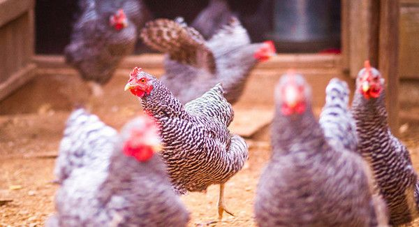 nice Man leaves chickens at Ore. state tax place of work: Disgruntled taxpayer cries 'fowl'