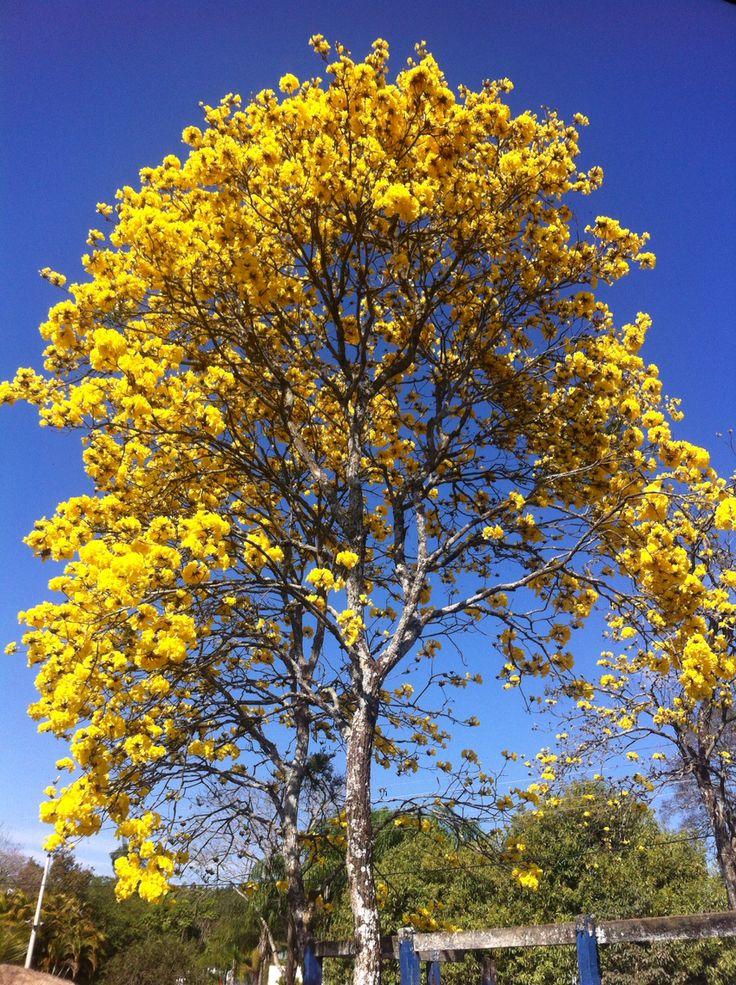 Ipê amarelo florido - so beautiful
