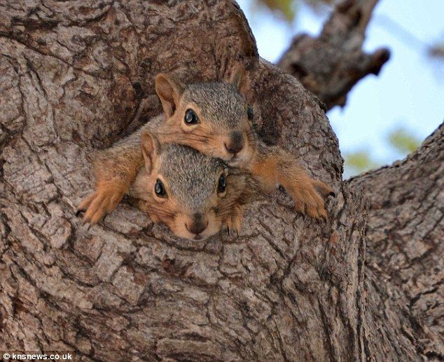 Amateur photographer Jimmy Adams, 60, waited patiently for the squirrel 'kittens' to show themselves on his father's small farm in Kellyville, Oklahoma