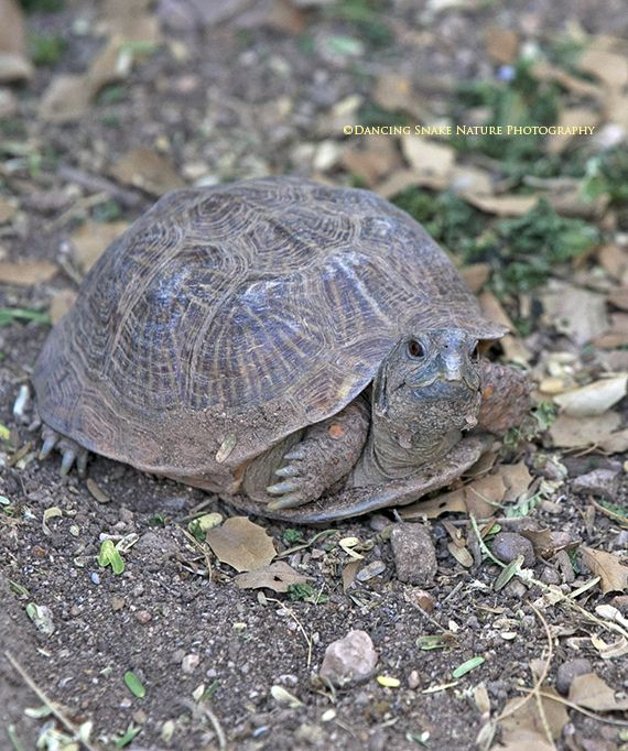 Box Turtle - These land loving turtles do look more like small ...