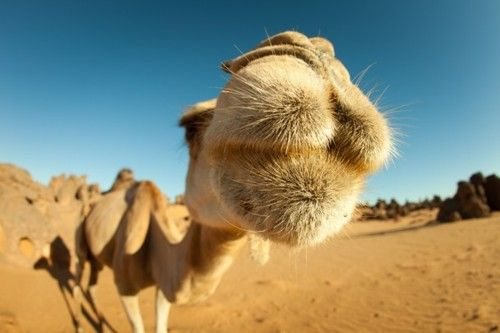 Amazing Animals # 7. I love camels, they are ugly, have a fighting tooth, can close eyes ears and nose in sand storms, and have that hump (dromedary camel=1 hump).  They are ornery, they spit, and they are the biological tank of the desert.  I love this portrait angle.