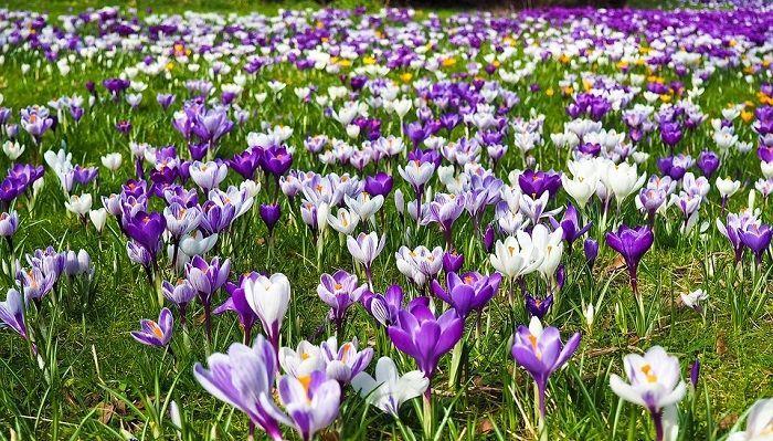 Krokus Blume Bedeutung Symbolismus Und Farben Bedeutung Blume