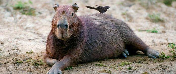 Les capybaras (« seigneurs des herbes » en langue indienne) ou cabiaïs sont les plus gros rongeurs au monde. Ils mesurent entre 1 et 1,35 mètres et peuvent peser jusqu'à 65 kg.  Ce sont des mammifères semi-aquatiques, inoffensifs et timides vivant par groupe comprenant une dizaine d'individus. Ils prolifèrent aux abords des marais ou le long des fleuves et des lacs d'Amérique du sud.  Les capybaras se nourrissent de plantes aquatiques et sont de fait d'excellents nageurs et plongeurs…
