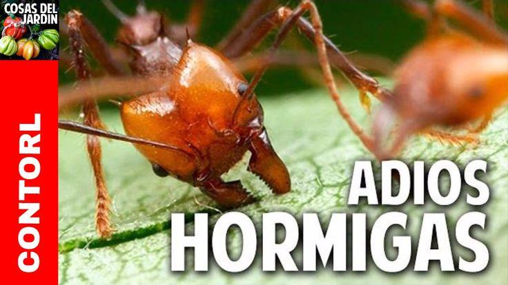 Como eliminar las hormigas del huerto - Novedosa receta casera organica ...