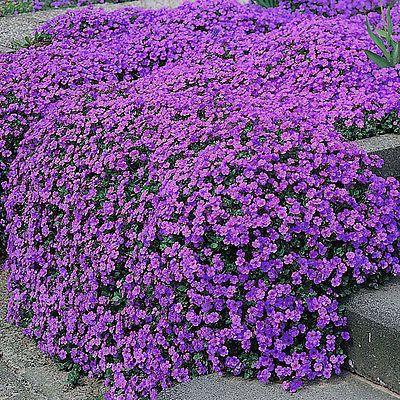 100 PURPLE  ROCK CRESS GROUNDCOVER SEEDS - Cascading Perrenial Wildflower