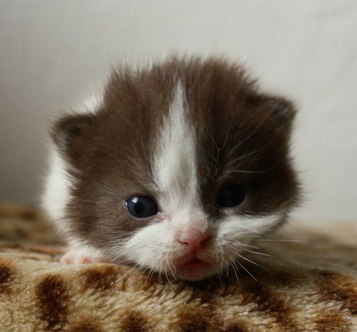 katzenbabys | ... Katzenbabys: Britisch Kurzhaar Katzenbabys abzugeben in chocolate