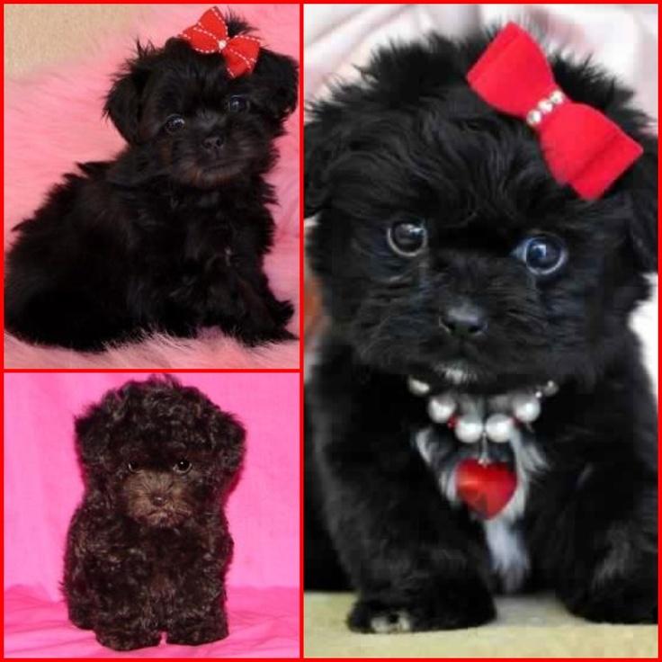 I want a black teacup peekapoo or a red teacup poodle