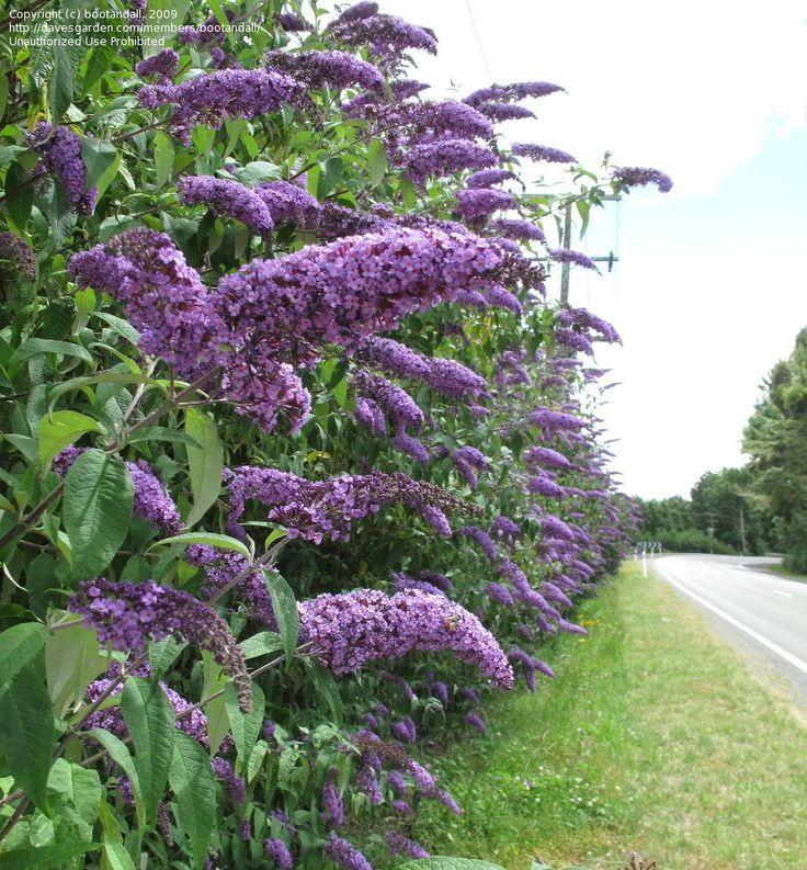 Orange Butterfly Bush | picture of Butterfly Bush, Summer Lilac, Orange-eye Butterfly Bush ...