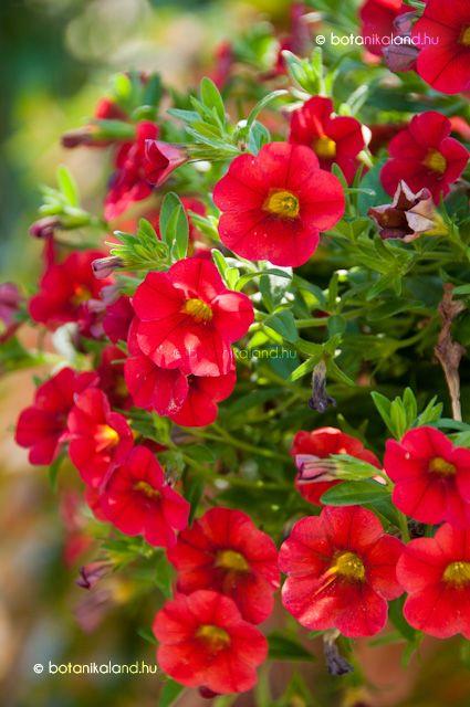 Dúsvirágú Petúnia  (Calibrachoa x hybrida)