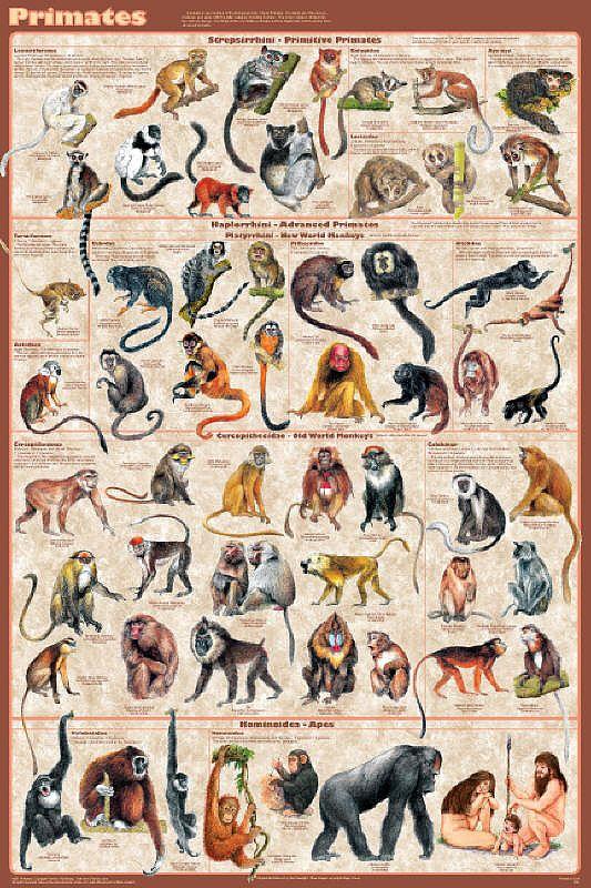 Приматы (все семьи).