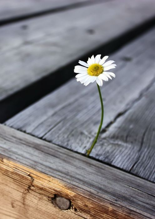 a strong little daisy flower ... reminds me of my baby girl.