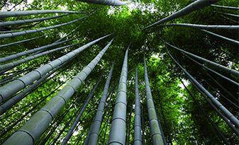 """Biomassa e recupero di terreni """"a verde"""" - Ecosostenibilità del Bambù  Oltre al fattore estetico e turistico, il bambù gigante Onlymoso può essere realmente una eccellente risorsa per quel che riguarda l'ambiente ed ecosostenibilità in quanto:  - L'ampio sistema delle radici contribuisce a mantenere compatto il suolo, impedendone l'erosione causata dall'acqua e ne migliora la qualità. - Riduce l'inquinamento atmosferico e del suolo grazie alla perenne chioma verde e ai suoi rizomi…"""