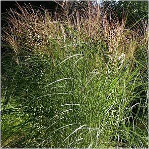 HURON SUNRISE MAIDEN GRASS