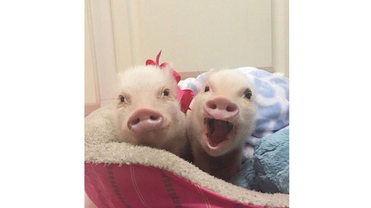 Priscilla et son petit frère Poppleton sont deux petits cochonnets qui habitent la Floride. Grands amateurs de chapeaux et de costumes, ils charment quotidiennement plus de 549 000 personnes avec leurs adorables photos.