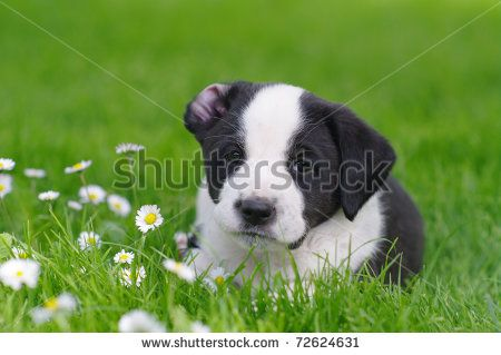 Dog Daisy Stock Photos, Images, & Pictures | Shutterstock