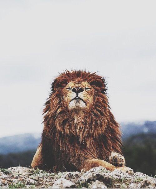 Image via We Heart It https://weheartit.com/entry/143543428/via/5149254 #animals #king #lion