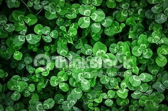 Clover Stock Photos and Illustrations - Royalty-Free Images - Thinkstock