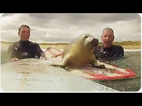 This seal surprises surfers. So adorable!