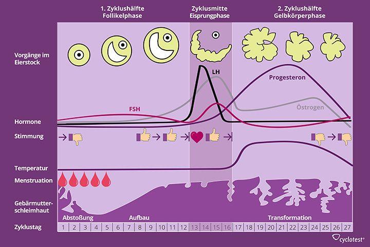 Die Grafik zeigt die Phasen des weiblichen Zyklus.