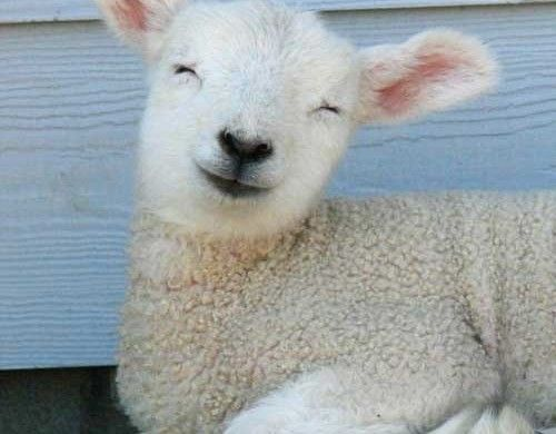 Petting little lambs