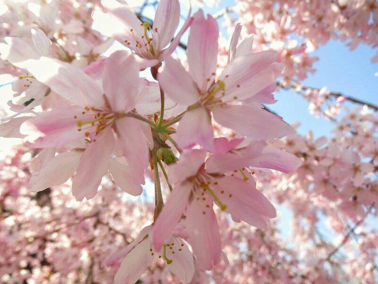 竹橋交差点付近の桜@東京・竹橋  夜勤明け。都内『桜満開!』の報を聴きつけ、眠くボーッとした頭で職場から千鳥ケ淵方面へ歩いた。桜を愛でるために。 千鳥ケ淵は八分かな。道すがら良い雰囲気の満開な桜の木が所々に散在した。腕はないがやはり撮り残したいとレンズを向けた。  2015.03.30