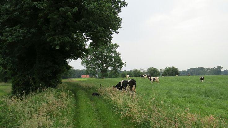 2016-06-12 Mooi wandelpad langs koeienweides en tussen oude eiken in Kerspel Goor