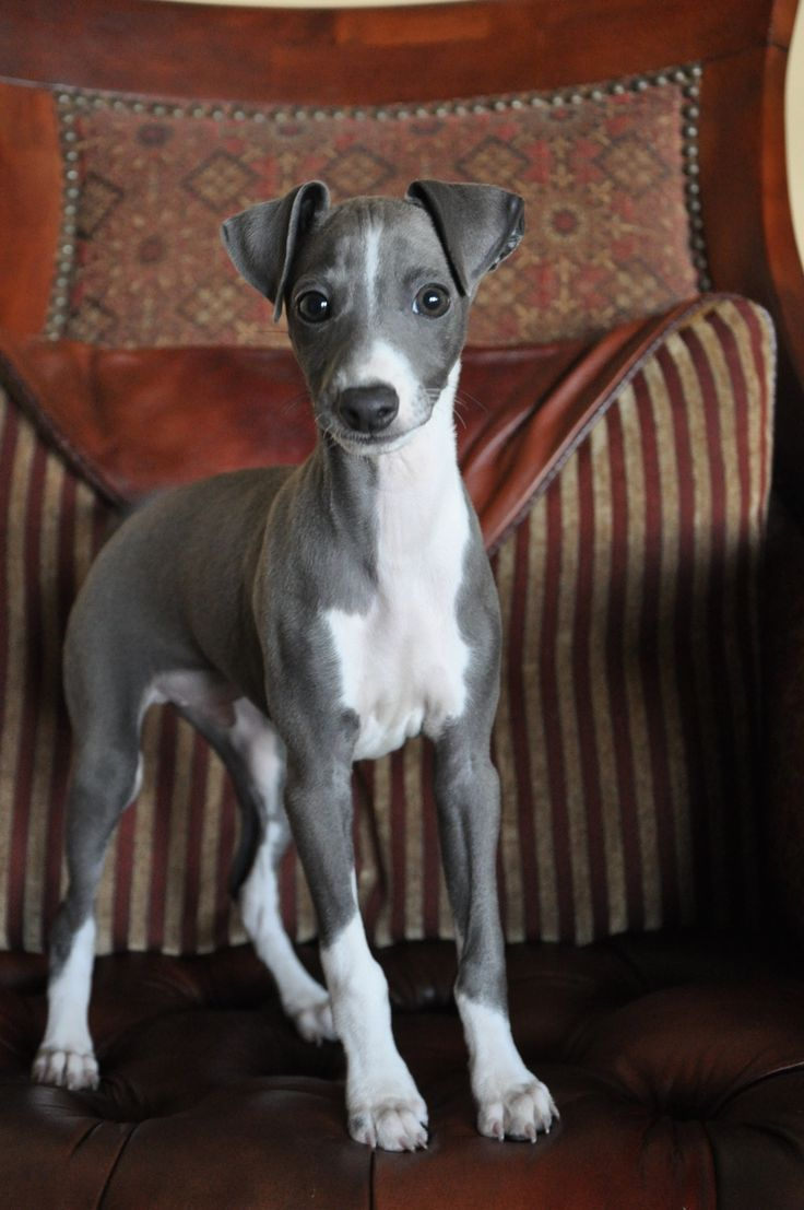 Puppy...Italian Greyhound.  Love the material on whatever that is behind her too!