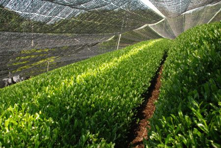 Japanse groene thee - Gyokuro